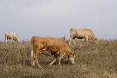 Коровы на выгоне Стоковые Изображения RF