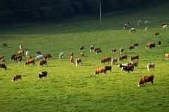 Коровы на выгоне Стоковые Фото