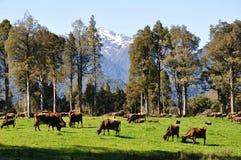 Коровы на выгоне Стоковые Изображения
