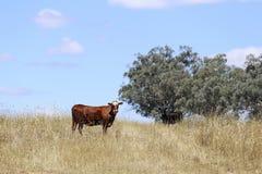 Коровы на выгоне Mudgee, Австралии Стоковые Фотографии RF