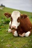 Коровы на высокогорном выгоне Стоковая Фотография RF