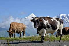 Коровы на высокогорном луге Стоковое Изображение