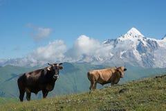 Коровы на высокогорном луге Стоковые Изображения