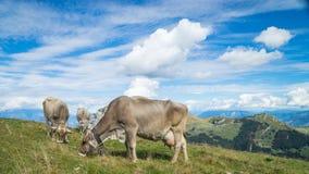 Коровы на горах Стоковые Фотографии RF