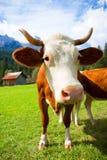 Коровы на горах Стоковое Фото