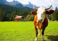 Коровы на горах Стоковое Изображение RF