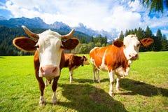 Коровы на горах Стоковые Изображения RF