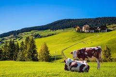 Коровы на горном склоне зеленой травы Стоковая Фотография