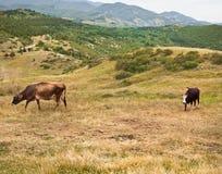 2 коровы на горном склоне Стоковое Изображение