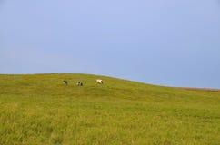 3 коровы на горном склоне Стоковое Изображение RF