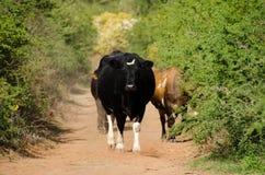 Коровы на грязной улице Стоковые Изображения RF