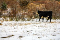 Коровы на дороге в последнем падении, стране Kananaskis, Альберте, Канаде Стоковые Изображения RF