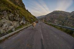 Коровы на дороге горы - управляющ в горах Кавказа Стоковое Изображение