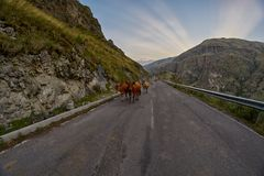 Коровы на дороге горы - управляющ в горах Кавказа Стоковое Фото