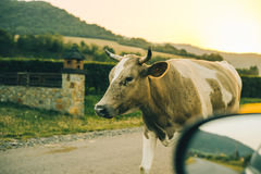 Коровы на дороге на заходе солнца Стоковая Фотография