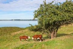 Коровы на дереве Стоковое Изображение