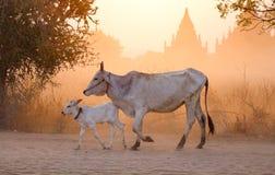 Коровы на заходе солнца в Bagan, Мьянме Стоковое фото RF