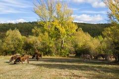 Коровы на заходе солнца Стоковая Фотография RF