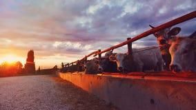 Коровы на заходе солнца Стоковые Изображения