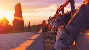 Коровы на заходе солнца Стоковое фото RF