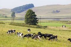 Коровы на зеленой траве Стоковое Фото