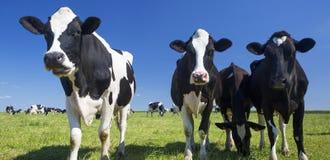Коровы на зеленой траве Стоковые Изображения