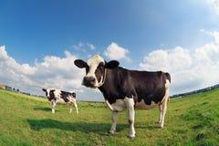 Коровы на зеленом выгоне на солнечный день Стоковые Фото