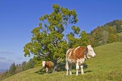 Коровы на зеленом лужке Стоковые Фото