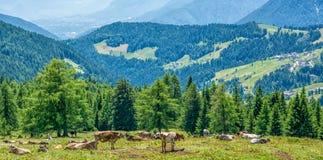 Коровы на зеленом поле с красивым пейзажем на Ultimo долине, южном Тироле, Италии Стоковое Изображение RF