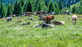Коровы на зеленом поле с красивым пейзажем на Ultimo долине, южном Тироле, Италии Стоковая Фотография RF
