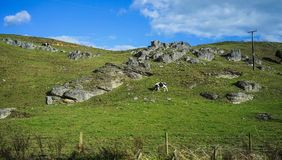 Коровы на зеленом холме Стоковые Изображения