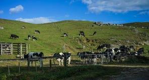 Коровы на зеленом холме Стоковые Фотографии RF