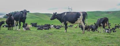 Коровы на зеленом холме Стоковое Изображение RF