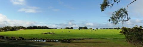 Коровы на зеленом холме Стоковые Фото