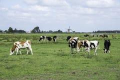 Коровы на зеленой траве с голландской ветрянкой Стоковая Фотография