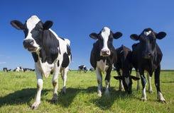 Коровы на зеленой траве Стоковые Изображения RF