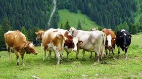 Коровы на зеленой траве Стоковые Фотографии RF