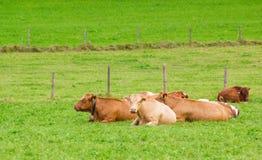 Коровы на зеленой траве Стоковое Изображение RF
