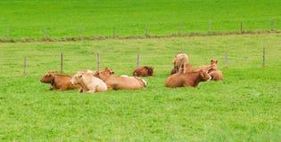 Коровы на зеленой траве Стоковое Изображение