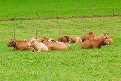 Коровы на зеленой траве Стоковая Фотография