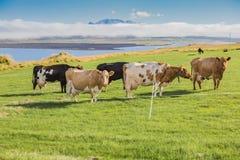 Коровы на зеленом выгоне и голубом небе Стоковые Фотографии RF
