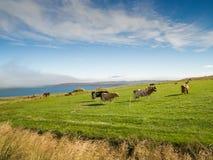 Коровы на зеленом выгоне и голубом небе Стоковая Фотография RF