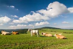 Коровы на зеленом выгоне под голубым небом с облаками Стоковые Изображения RF