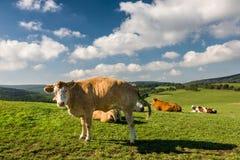 Коровы на зеленом выгоне под голубым небом с облаками Стоковые Фотографии RF