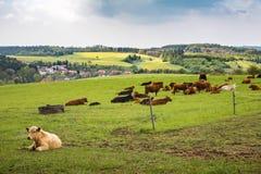 Коровы на зеленом выгоне под облачным небом Стоковые Фотографии RF