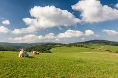 Коровы на зеленом выгоне Стоковое фото RF