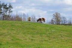 2 коровы на зеленом выгоне Стоковые Изображения