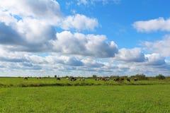 Коровы на зеленом поле в солнечном дне Стоковые Изображения