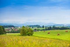Коровы на зеленом поле лета Стоковые Фотографии RF