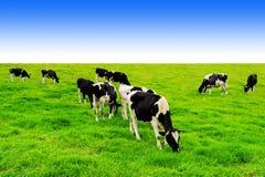 Коровы на зеленом поле и голубом небе Стоковое Фото